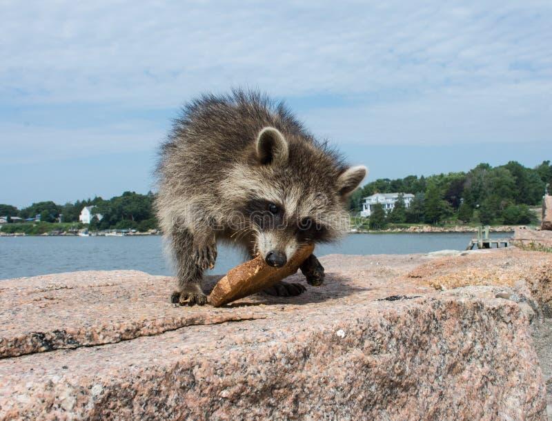 Een babywasbeer die zich op een stuk van graniet bevinden die brood eten stock afbeelding