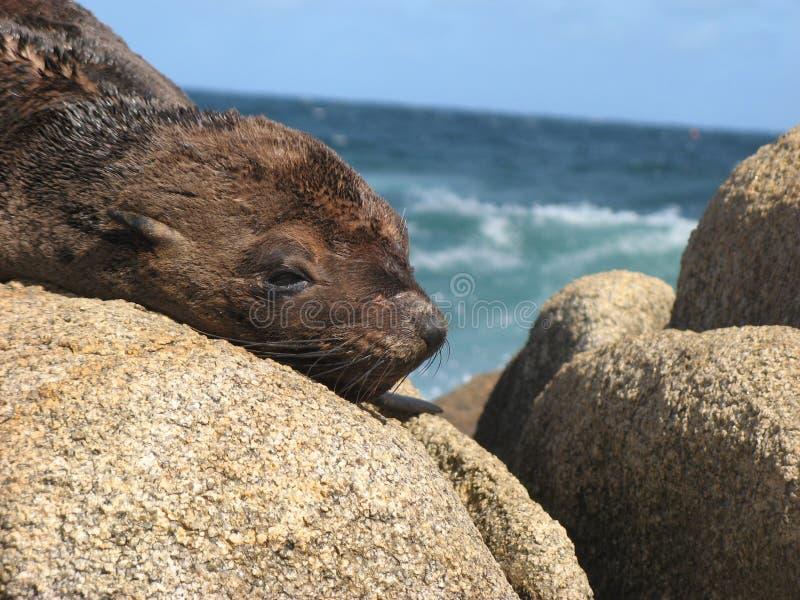 Een babyzeehond die op de rotsen rusten royalty-vrije stock afbeelding