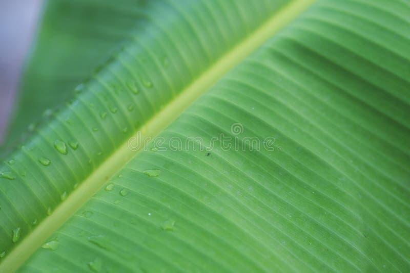 Een banaanblad stock fotografie