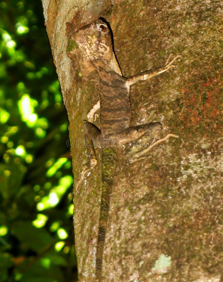 Een Basilisk op een boom royalty-vrije stock afbeeldingen