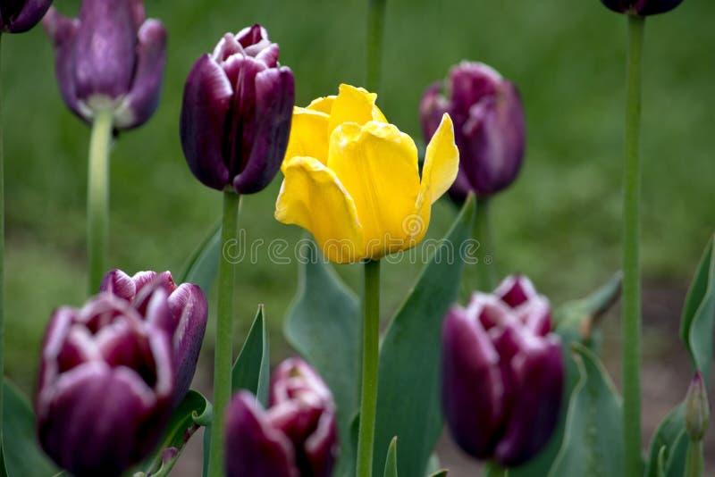 Een bed van purpere tulpen en één geel stock afbeeldingen