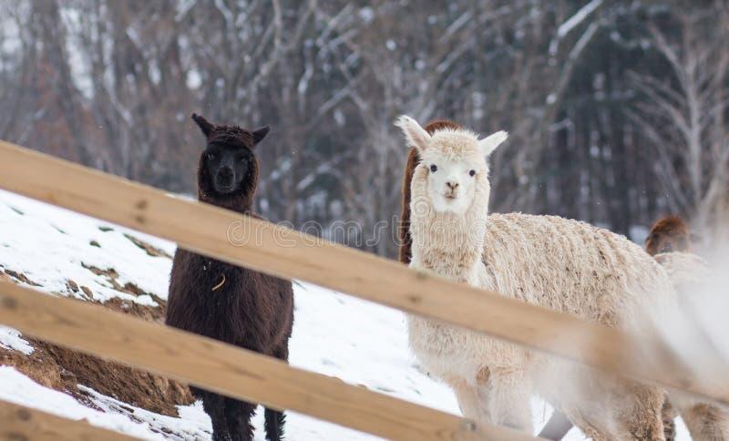 Een beeld van alpaca drie op sneeuwgrond stock foto