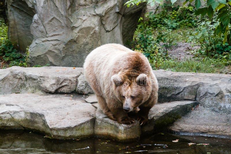 Een beer op de kust van een meer stock afbeelding