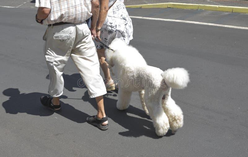 Een bejaard paar loopt met haar witte poedel op een leiband stock foto's