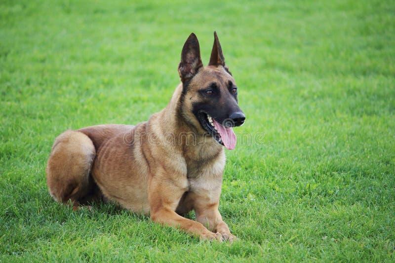 Een Belgische Malinois-herdershond die in het gras liggen dat hij zich niet beweegt royalty-vrije stock afbeeldingen