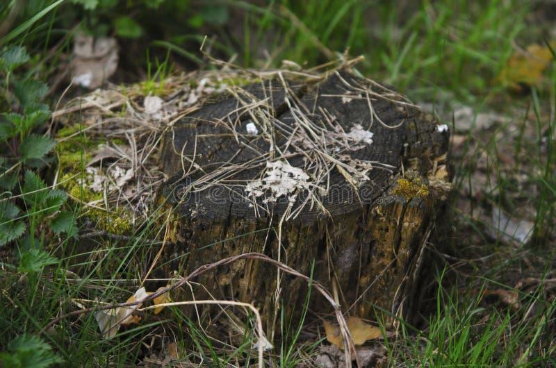 Een bemoste boomstomp op de bosdievloer met gevallen bladeren wordt behandeld royalty-vrije stock foto's