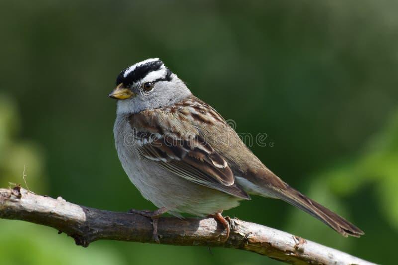 Een Berg Chickadee (Poecile-gambeli) royalty-vrije stock foto
