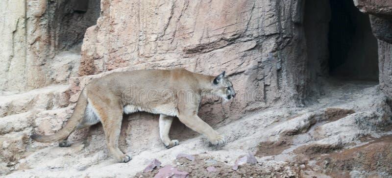 Een Berg Lion Returns aan zijn Lair After Hunting stock afbeeldingen