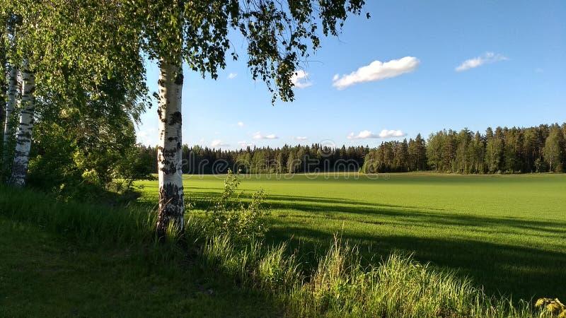 Een berkboom naast het gebied bij zomer stock fotografie