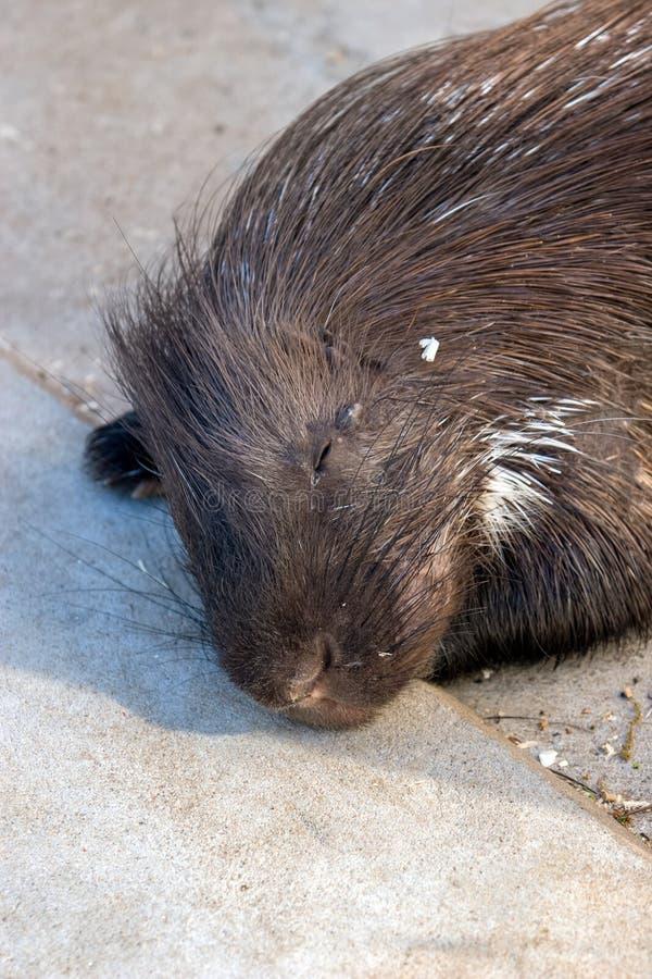 Een bever ligt en slaap op een concrete vloer royalty-vrije stock afbeelding