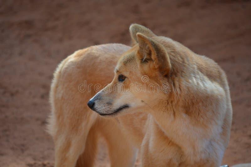 Een bevindende dingo royalty-vrije stock foto