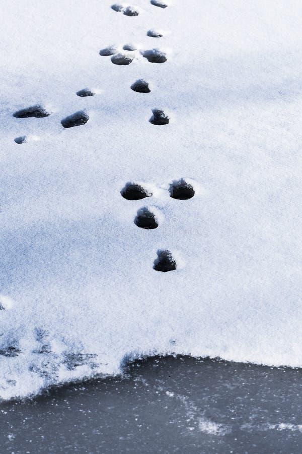 Een bevroren voetafdruk in een bevroren vijverijs royalty-vrije stock foto's