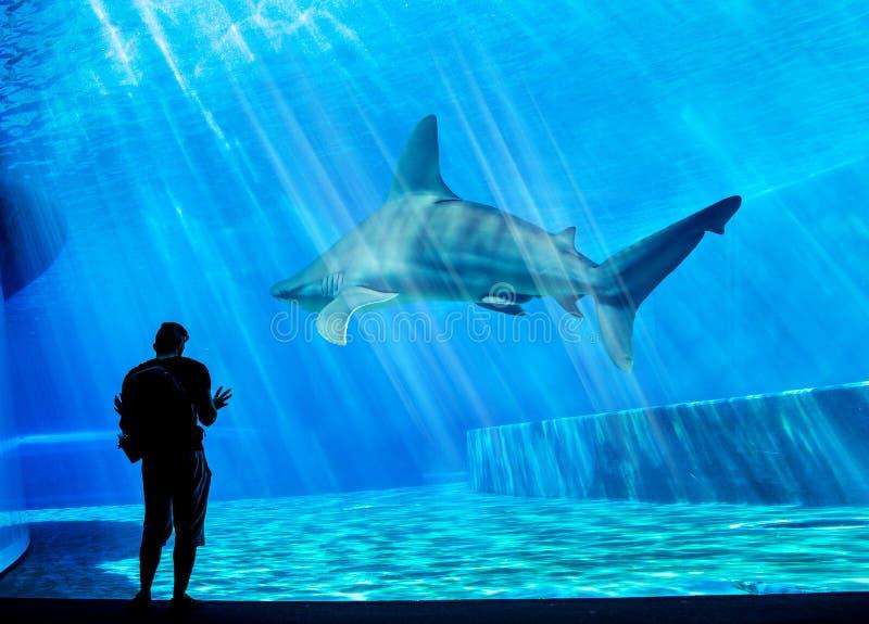 Een bezoeker kijkt naar een enorme haai in zijn eigen tank in het lokale aquarium - blauwe omgeving Aanval, dier
