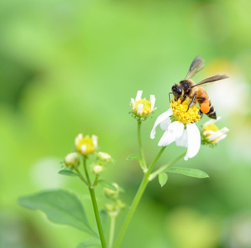 Een bij bezige het drinken nectar stock foto