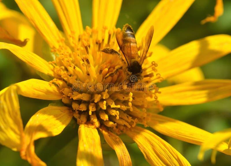 Een bij bezige het drinken nectar stock fotografie