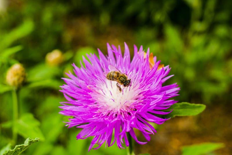 Een bij die nectar met de mooie lente verzamelen bloeit Purple royalty-vrije stock afbeelding