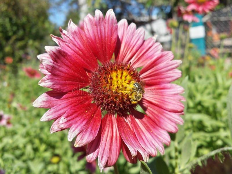 Een bij in een bloem royalty-vrije stock afbeelding