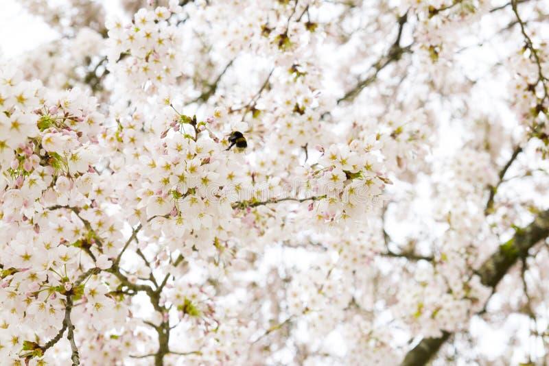 Een bij flys in een boom van de kersenbloesem stock afbeeldingen