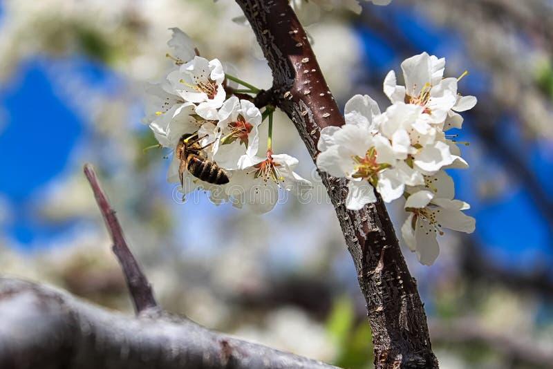 Een bij het bestuiven pruim komt in de lente tot bloei royalty-vrije stock foto