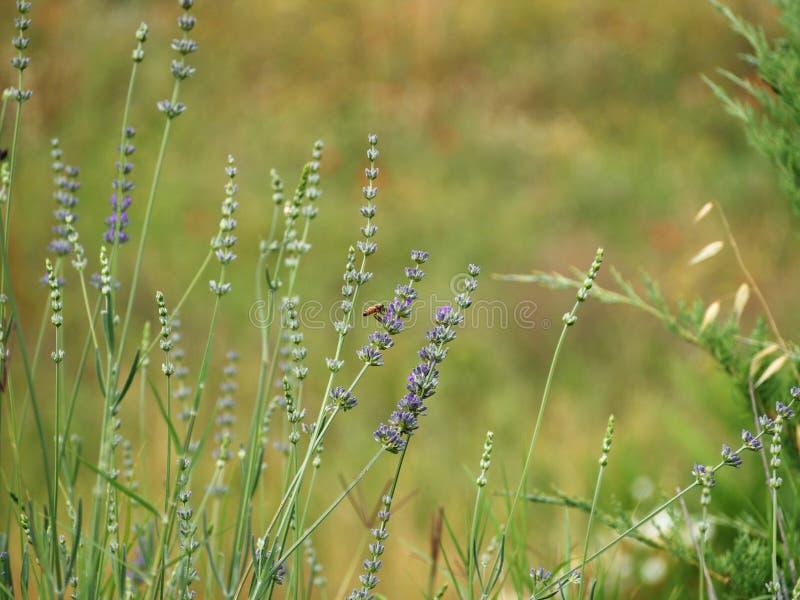 Een bij in lavendelbloemen royalty-vrije stock afbeelding