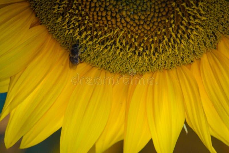 Een bij op een zonnebloem royalty-vrije stock fotografie