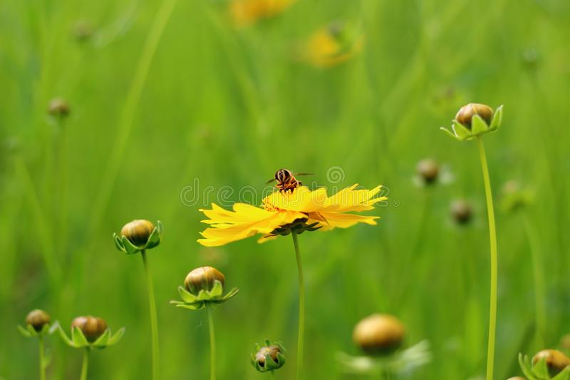 "Een bij op een flower/èŠ±æœµä¸Šçš ""èœœèœ ' stock foto"