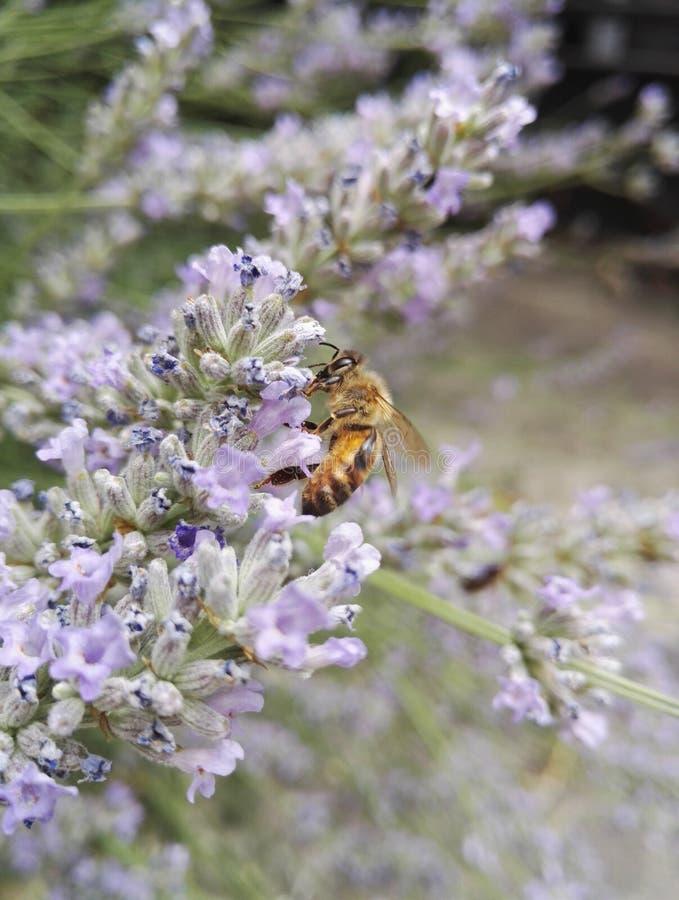 Een bij, uitstekende bestuiver, op een lavendelbloem stock foto's