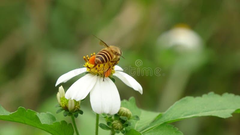 Een bij verzamelt honing op bloemen stock afbeeldingen