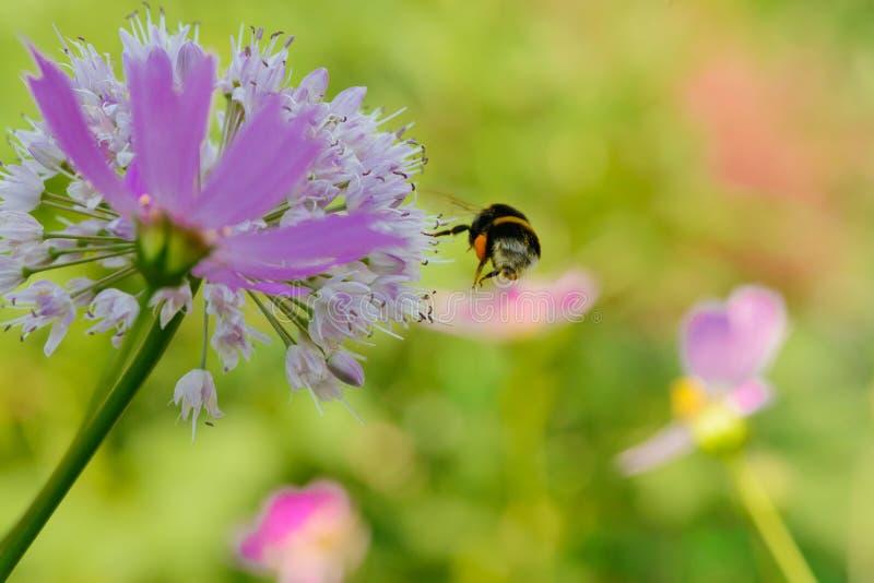 Een bij verzamelt nectar van een bloem royalty-vrije stock afbeeldingen