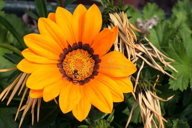 Een bij zit op een één enkele grote gele Gazania of Schatbloem in volledige bloei, Gazania rigens stock fotografie