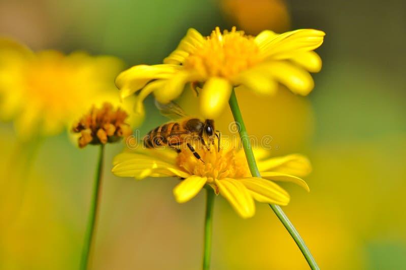 Een bijenhuid in goudsbloem stock foto