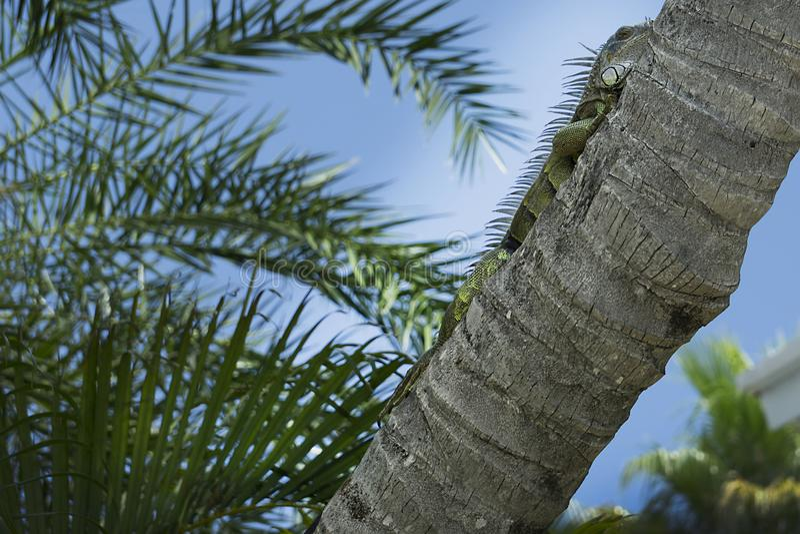 Een bijna 3 ` groene leguaan die op een palm in Key West leggen, Florida royalty-vrije stock fotografie