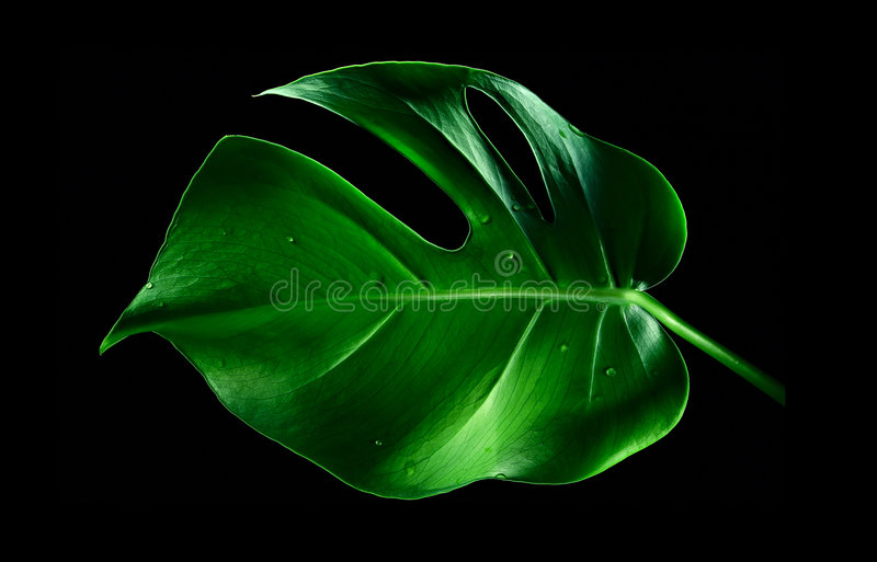 Een blad Monstera stock foto