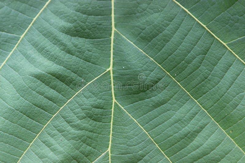 Een blad van de teakboom in Indonesië stock fotografie