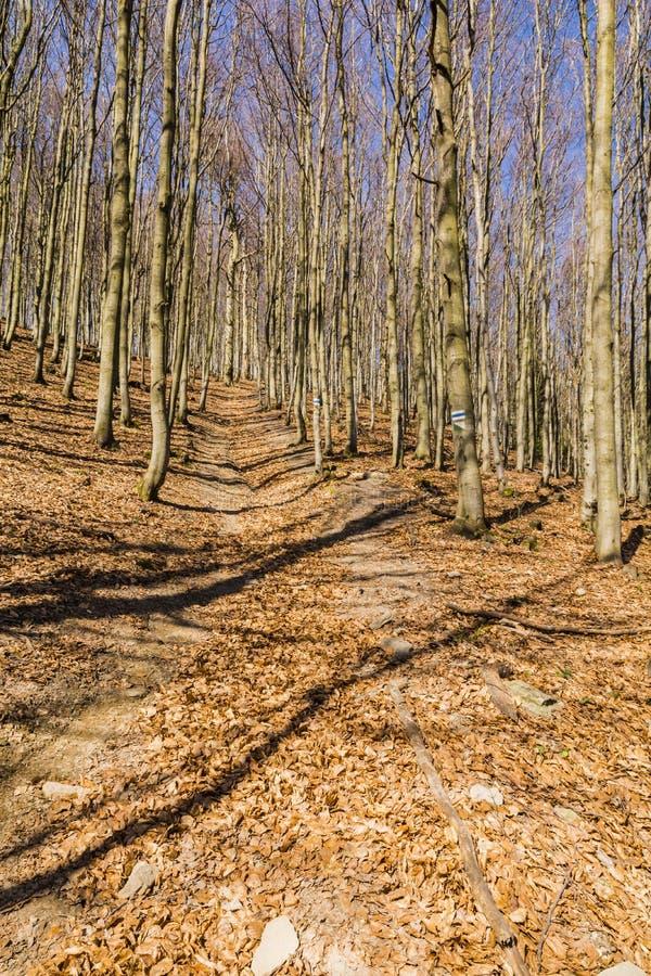 Een blauw duidelijke die het lopen sleep tussen beukbomen wordt geleid stock afbeelding