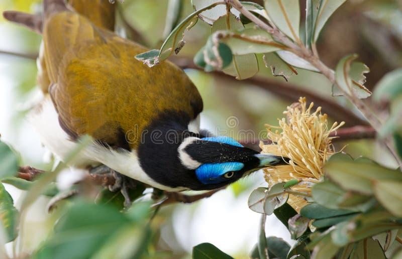 Een blauw Onder ogen gezien Honeyeater royalty-vrije stock afbeelding