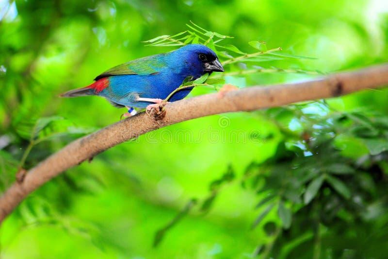 Een blauw-Onder ogen gezien Vogel Parrotfinch stock afbeeldingen