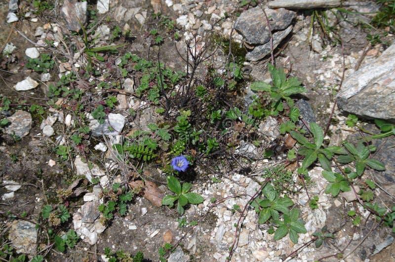 Een blauwe bloem op de berg stock afbeelding