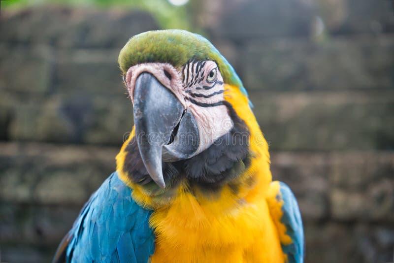 Een blauwe en gele close-up van de arapapegaai royalty-vrije stock afbeeldingen
