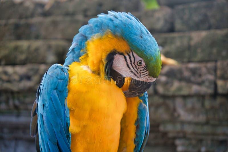 Een blauwe en gele close-up van de arapapegaai royalty-vrije stock afbeelding