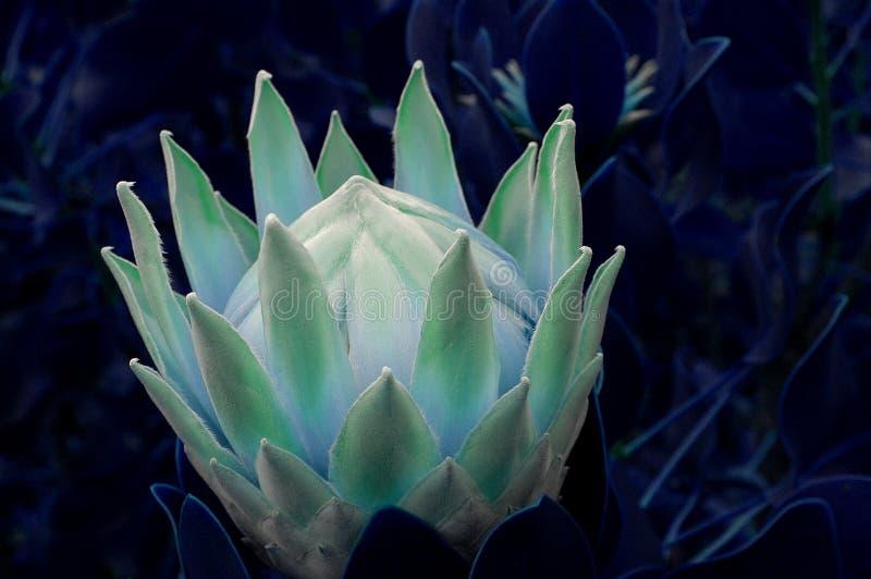 Een blauwe en groene Protea onder de volle maan op het Eiland Maui, Hawaï stock afbeeldingen