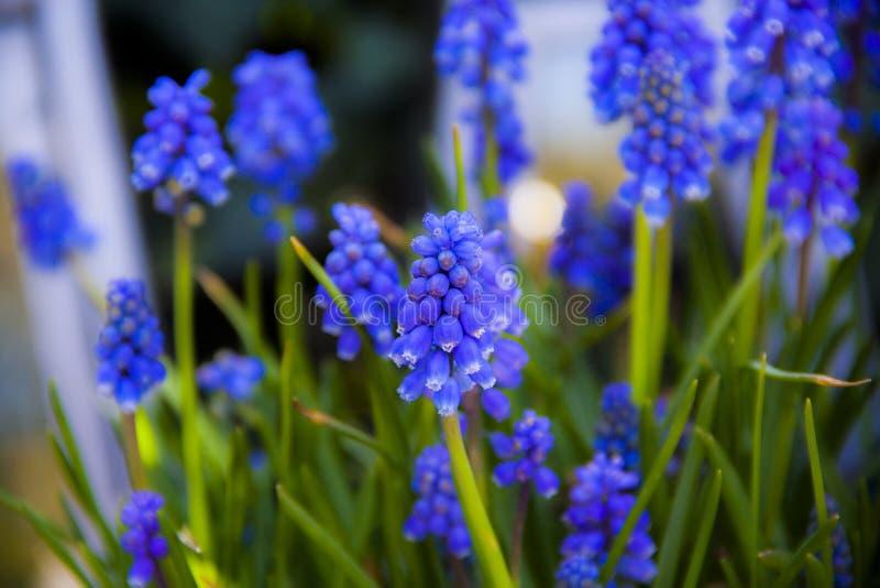 Een blauwe hyacint stock foto's