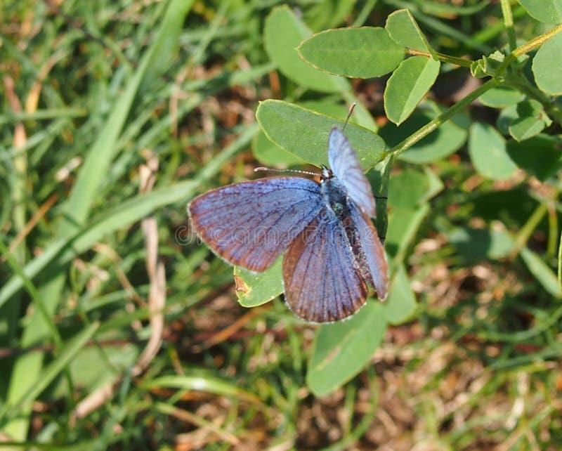 Een blauwe vlinder Polyommatus Icarus royalty-vrije stock foto