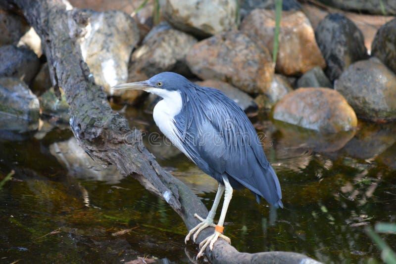 Een blauwe vogel die zich op een tak bevinden stock foto's