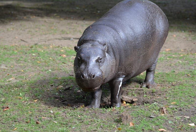 Een Blik in een Pygmy Hippo in de Wildernis royalty-vrije stock foto