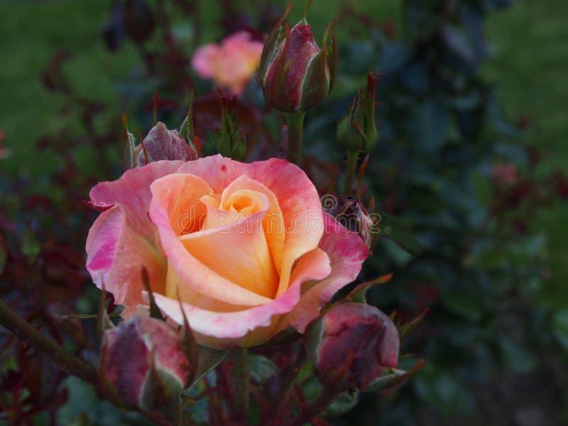 Een bloei onder knoppen royalty-vrije stock afbeeldingen