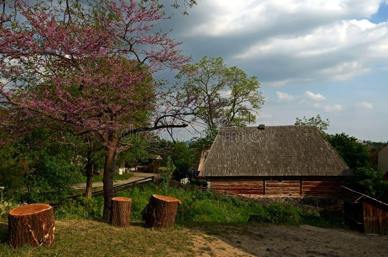Een bloeiende boom met purpere bloemen groeit naast houten stompen stock afbeeldingen