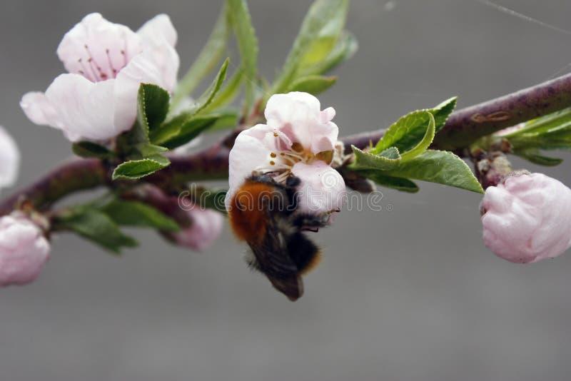 Een bloeiende fruitboom met een bij op een wit-roze bloem Vage achtergrond, duidelijke zonnige de lentedag Grote details! stock foto's