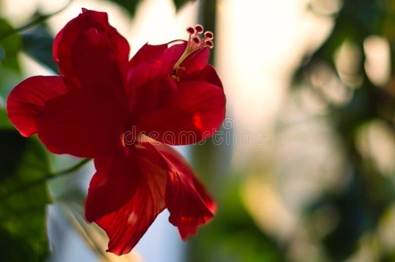 Een Bloeiende Hibiscusbloem royalty-vrije stock afbeeldingen