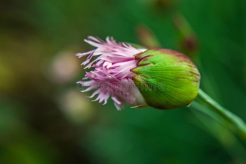 Een bloeiende roze-witte knop van een anjerbloem tegen een achtergrond van groen gras royalty-vrije stock afbeelding